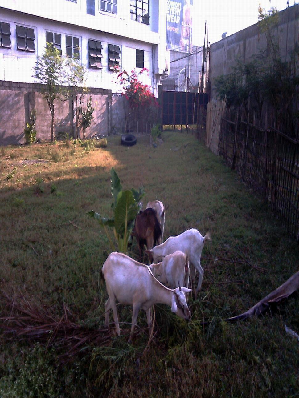 Download Free Stock HD Photo of feeding goats Online