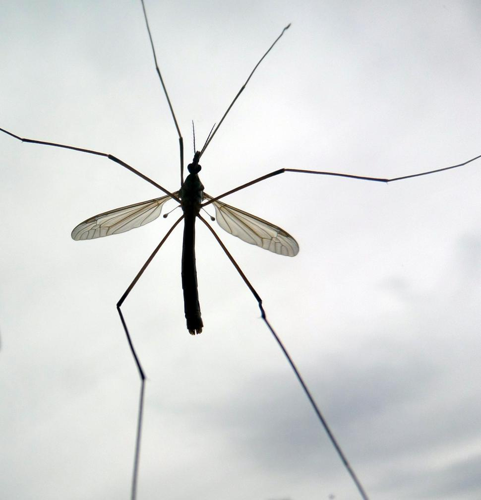 Download Free Stock HD Photo of Cranefly sillhouette Online