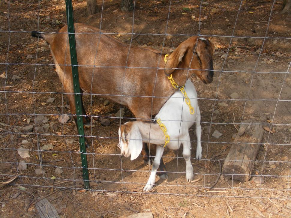 Download Free Stock HD Photo of Two Goats Online