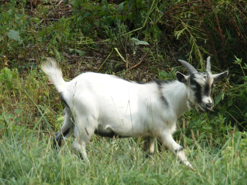Download Free Stock HD Photo of Wild goat Online