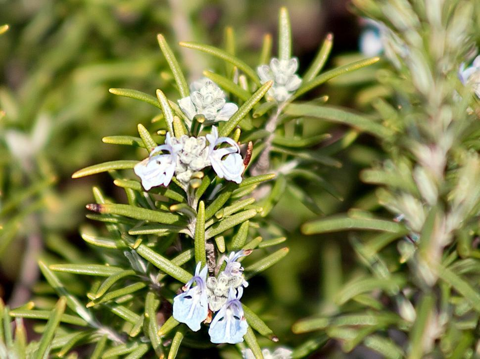 Download Free Stock HD Photo of Rosemary Online