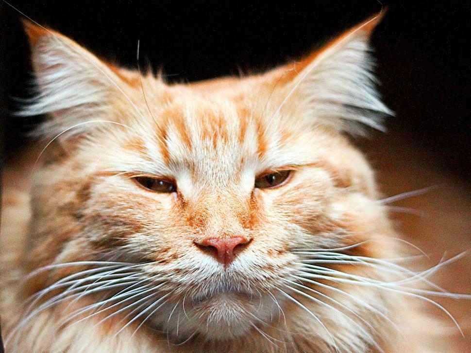 Download Free Stock HD Photo of Big orange tomcat Online