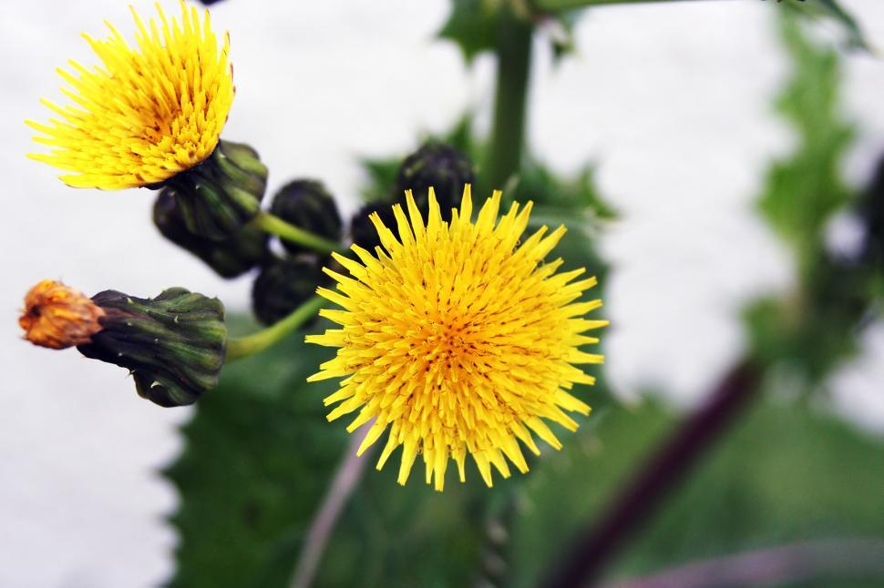 Download Free Stock HD Photo of Yellow Dandelion Online