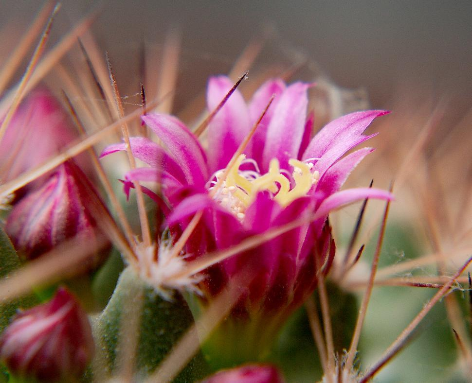 Get free stock photos of cactus flower online download latest free download free stock hd photo of cactus flower online mightylinksfo