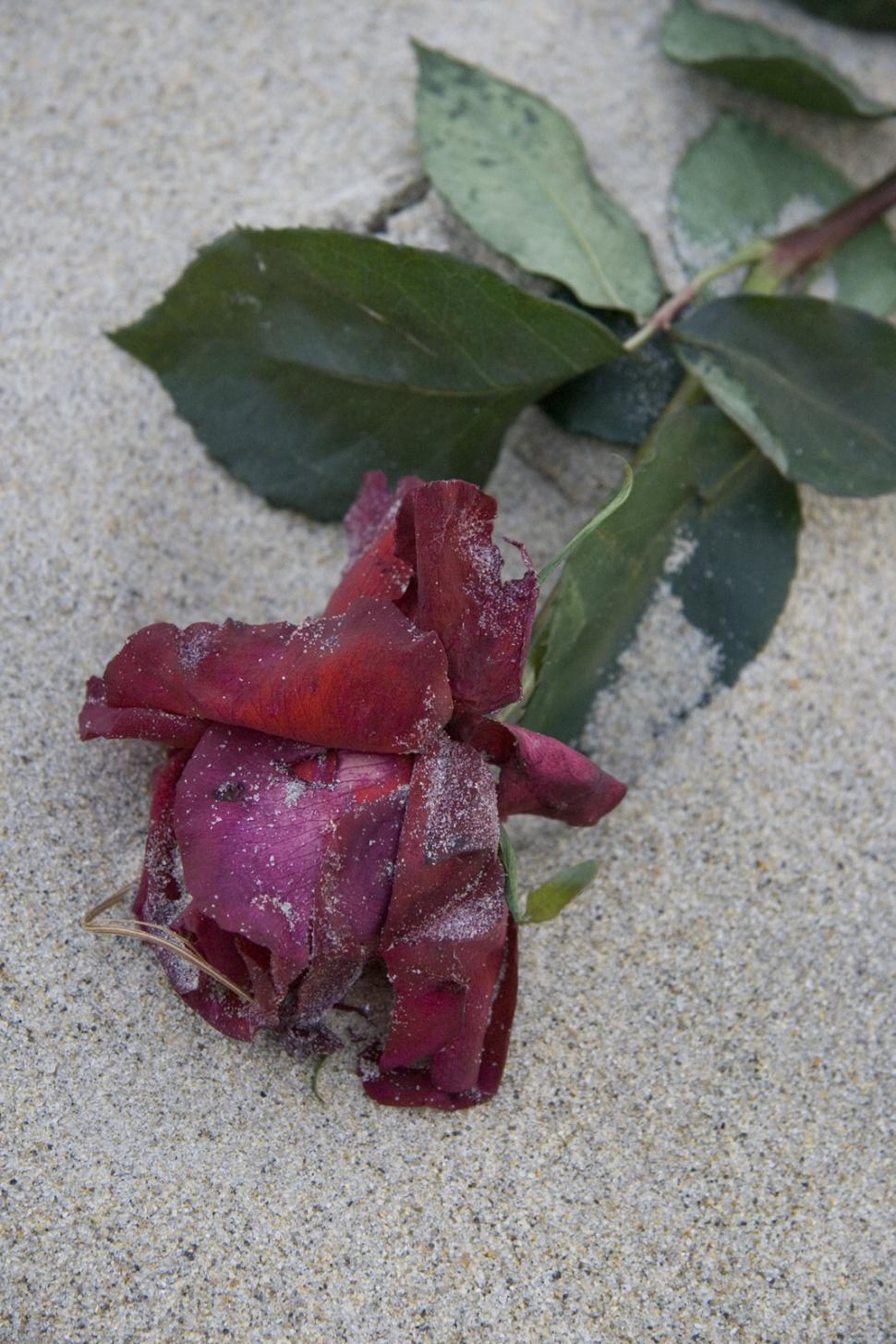 Download Free Stock HD Photo of A Rose on the Beach Online