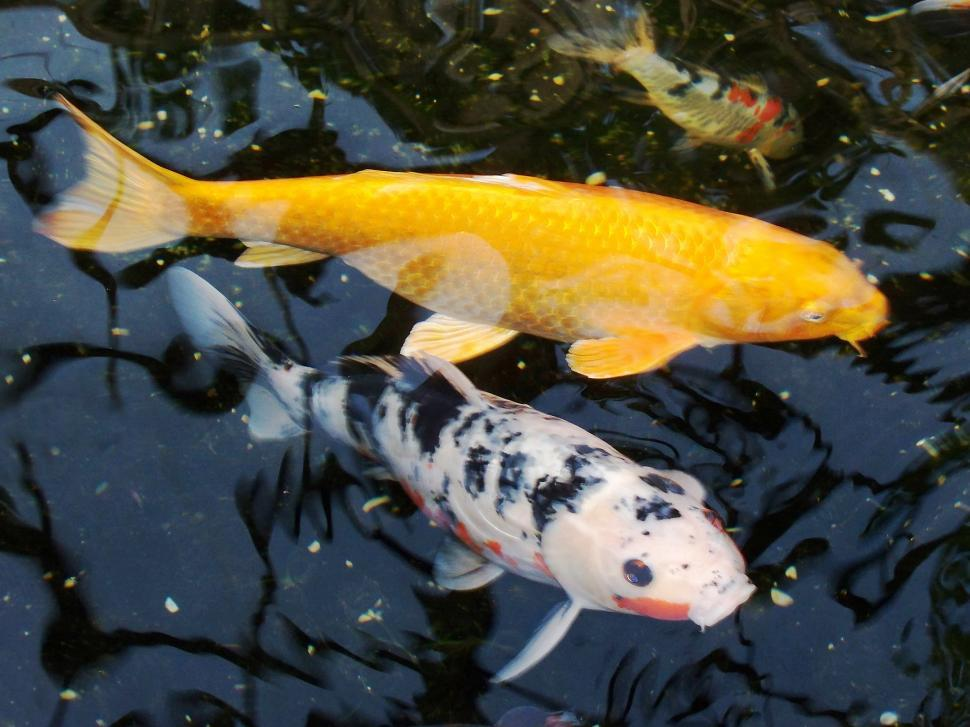 Download Free Stock HD Photo of Koi Online