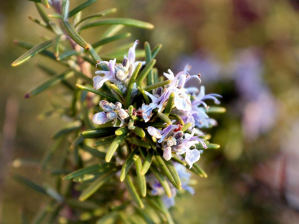 Download Free Stock HD Photo of Rosemary plant Online