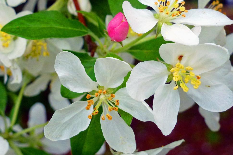 Download Free Stock HD Photo of Apple Blossoms Online