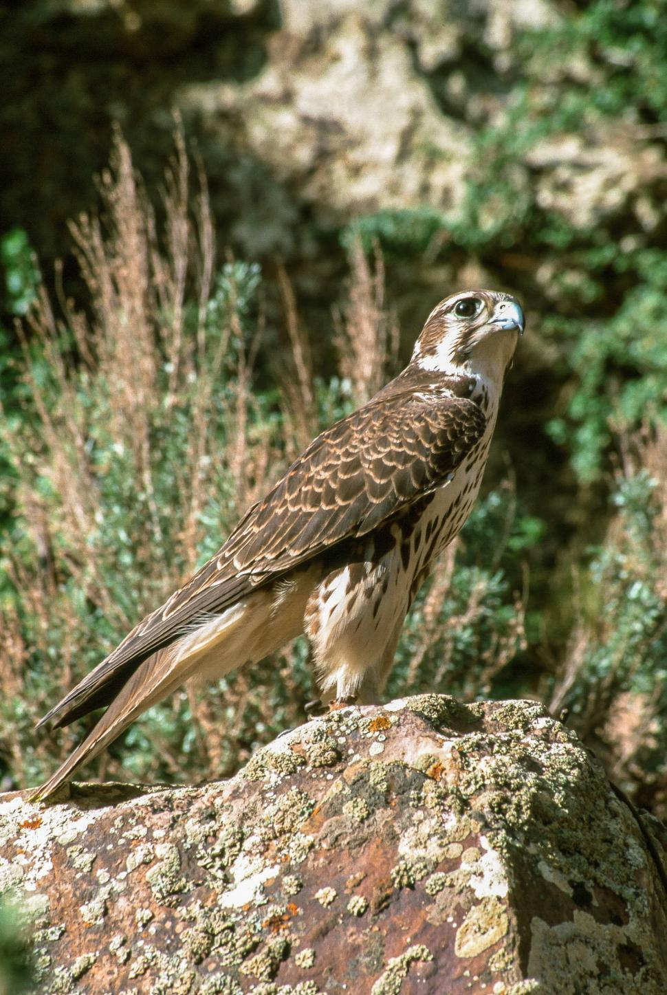 Download Free Stock HD Photo of Prairie falcon Online