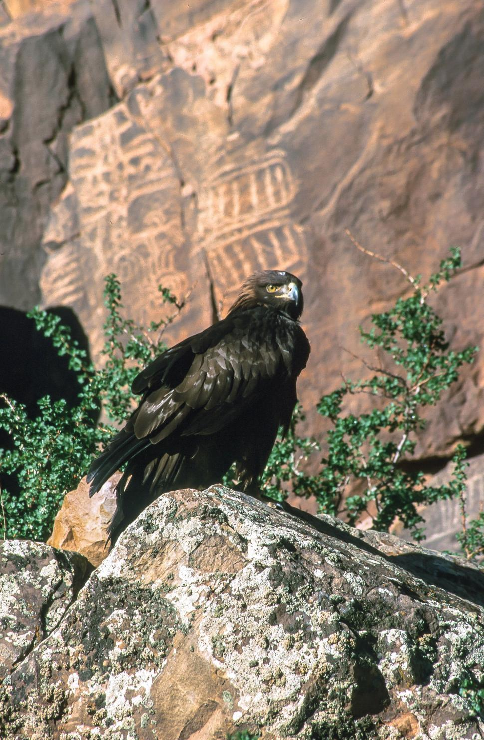 Download Free Stock HD Photo of Golden eagle on rock Online