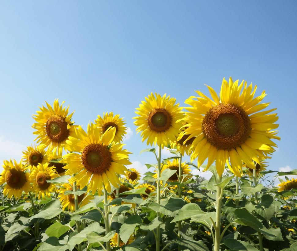 Download Free Stock HD Photo of Sunflower field  Online