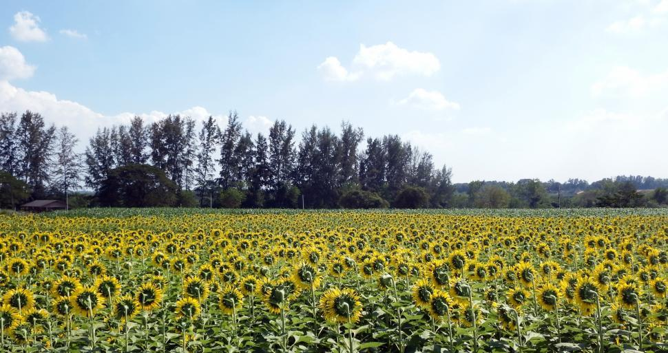 Download Free Stock HD Photo of Sunflower field facing away Online
