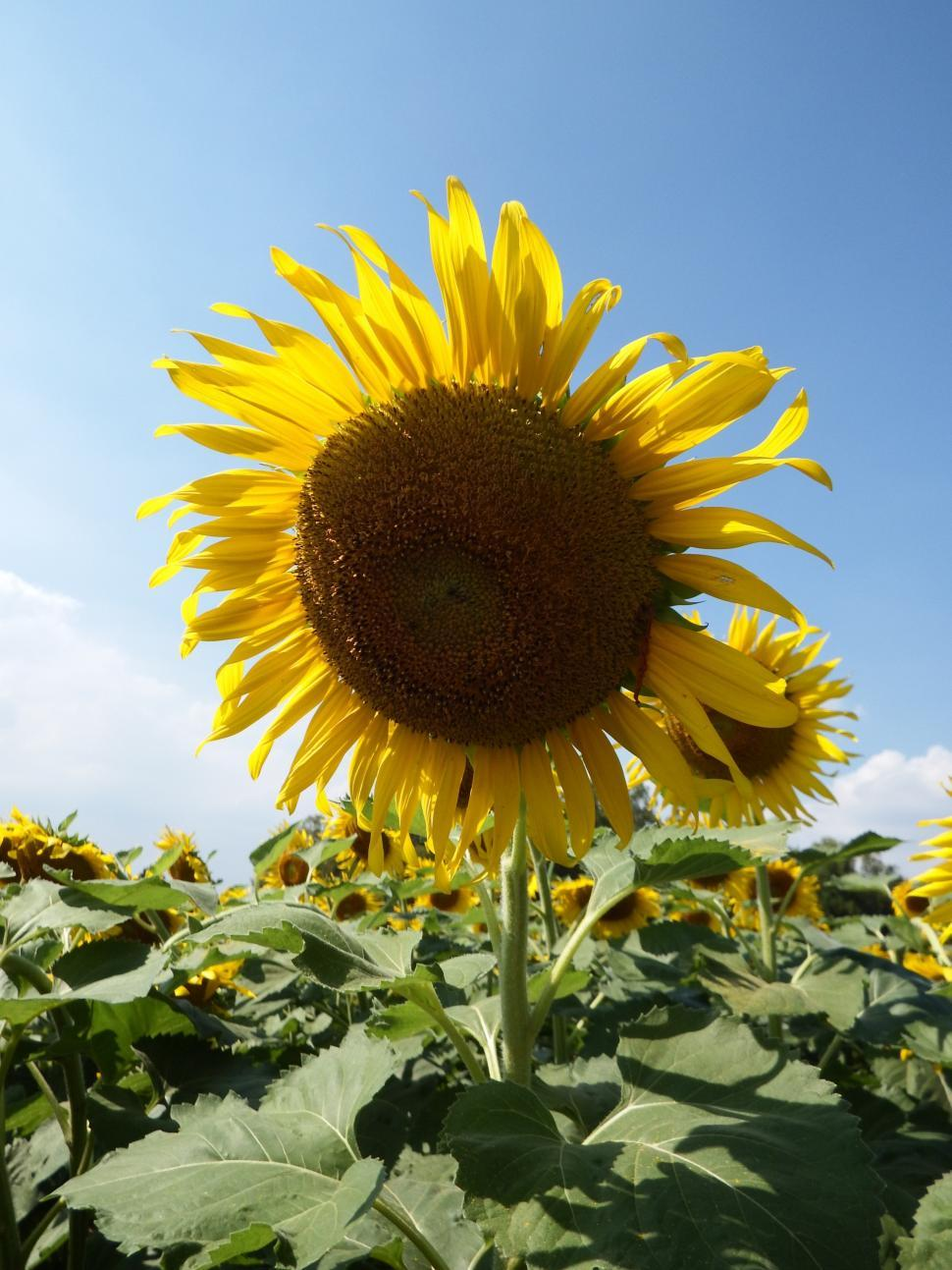 Download Free Stock HD Photo of Single Sunflower on Blue Sky Background  Online