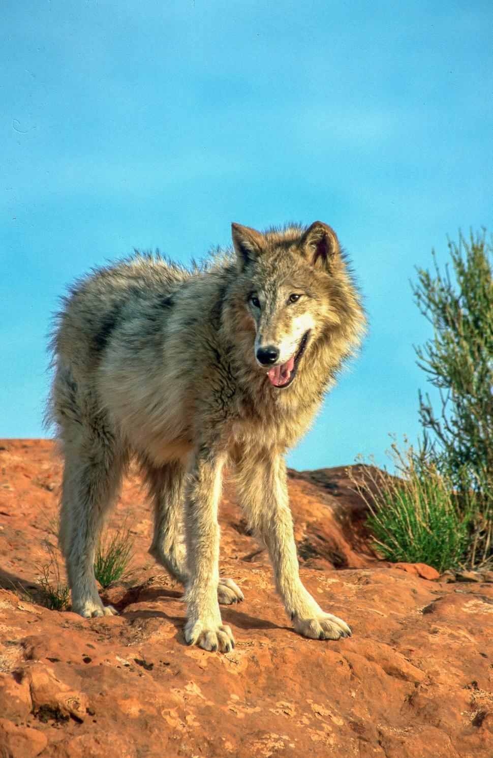 Download Free Stock HD Photo of Wolf Online