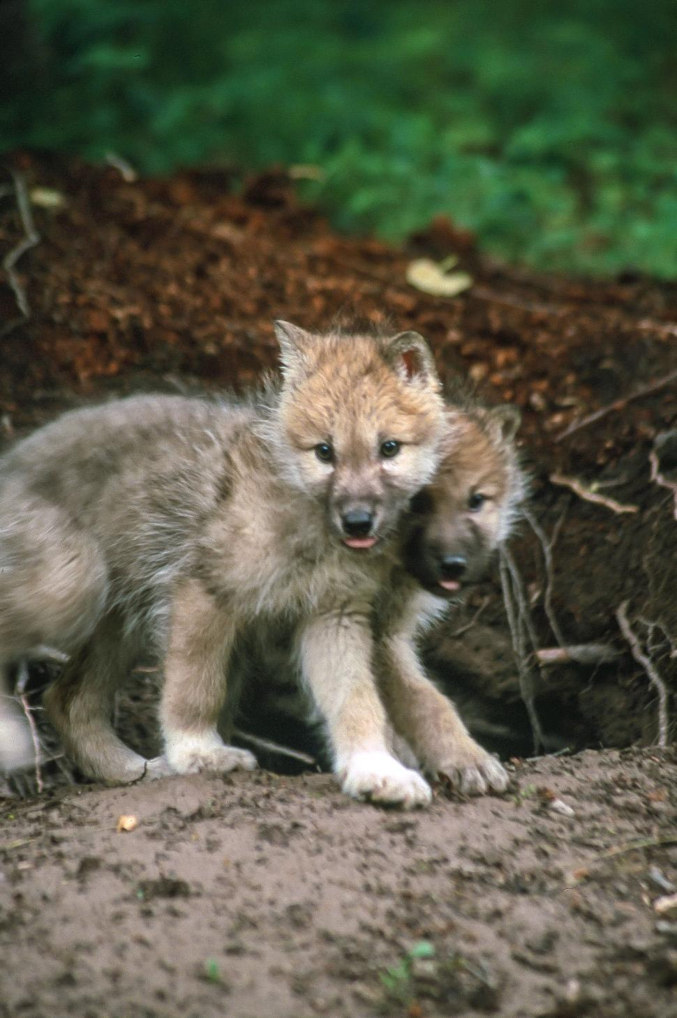 Download Free Stock HD Photo of Wolf cubs Online