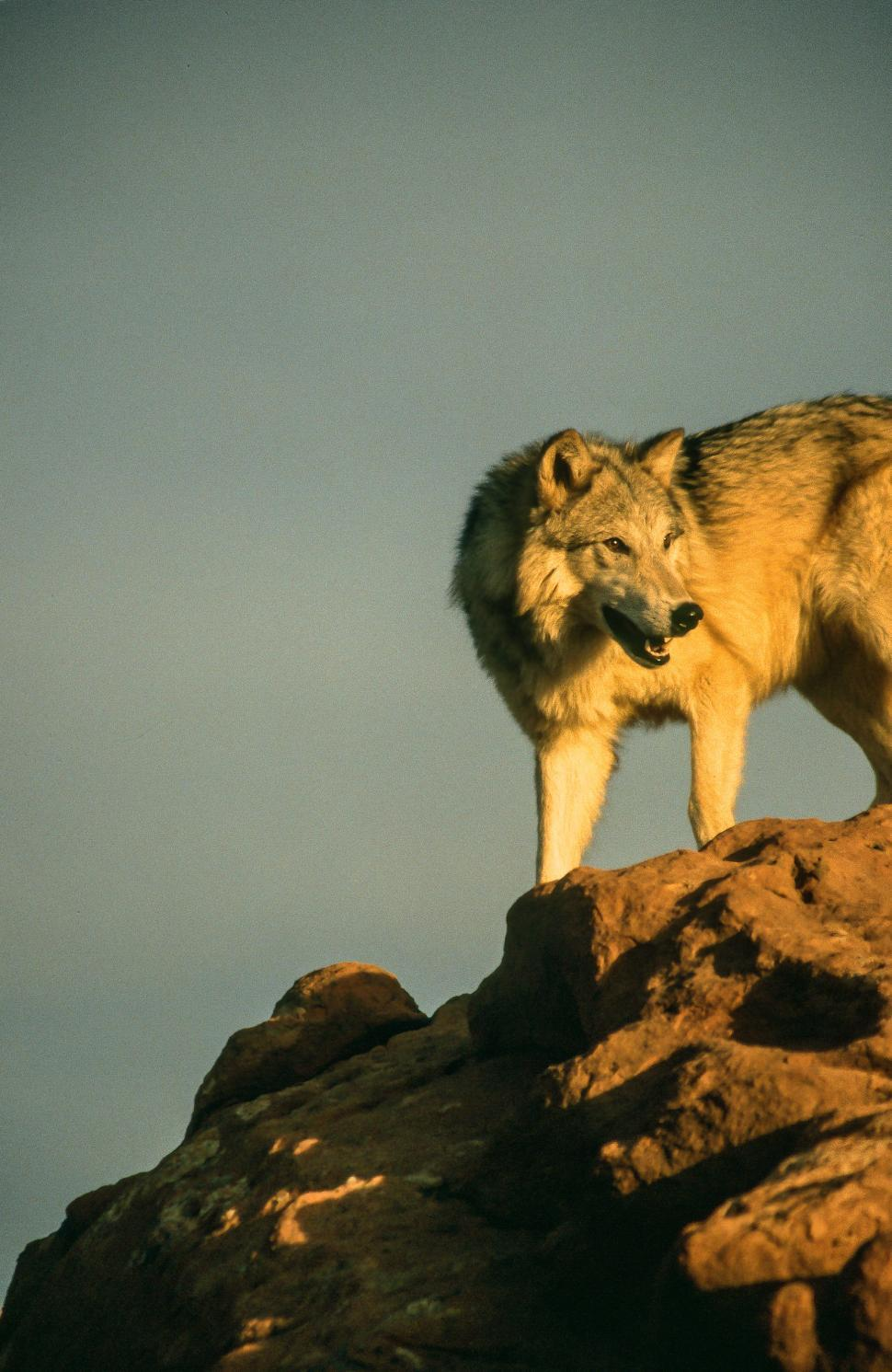 Download Free Stock HD Photo of Wolf on a rock Online
