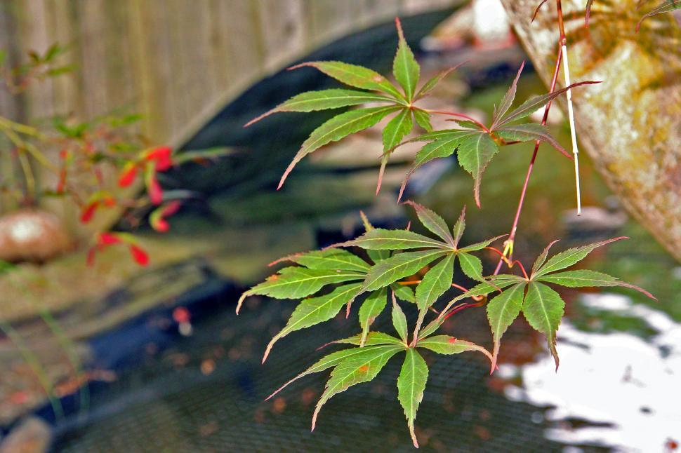 Download Free Stock HD Photo of Japanese Maple Leaves of Tree By a Pond Online