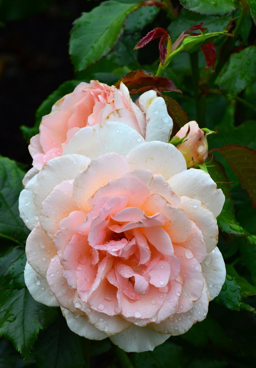 Download Free Stock HD Photo of Hybrid tea rose 'Chandos Beauty'  Online