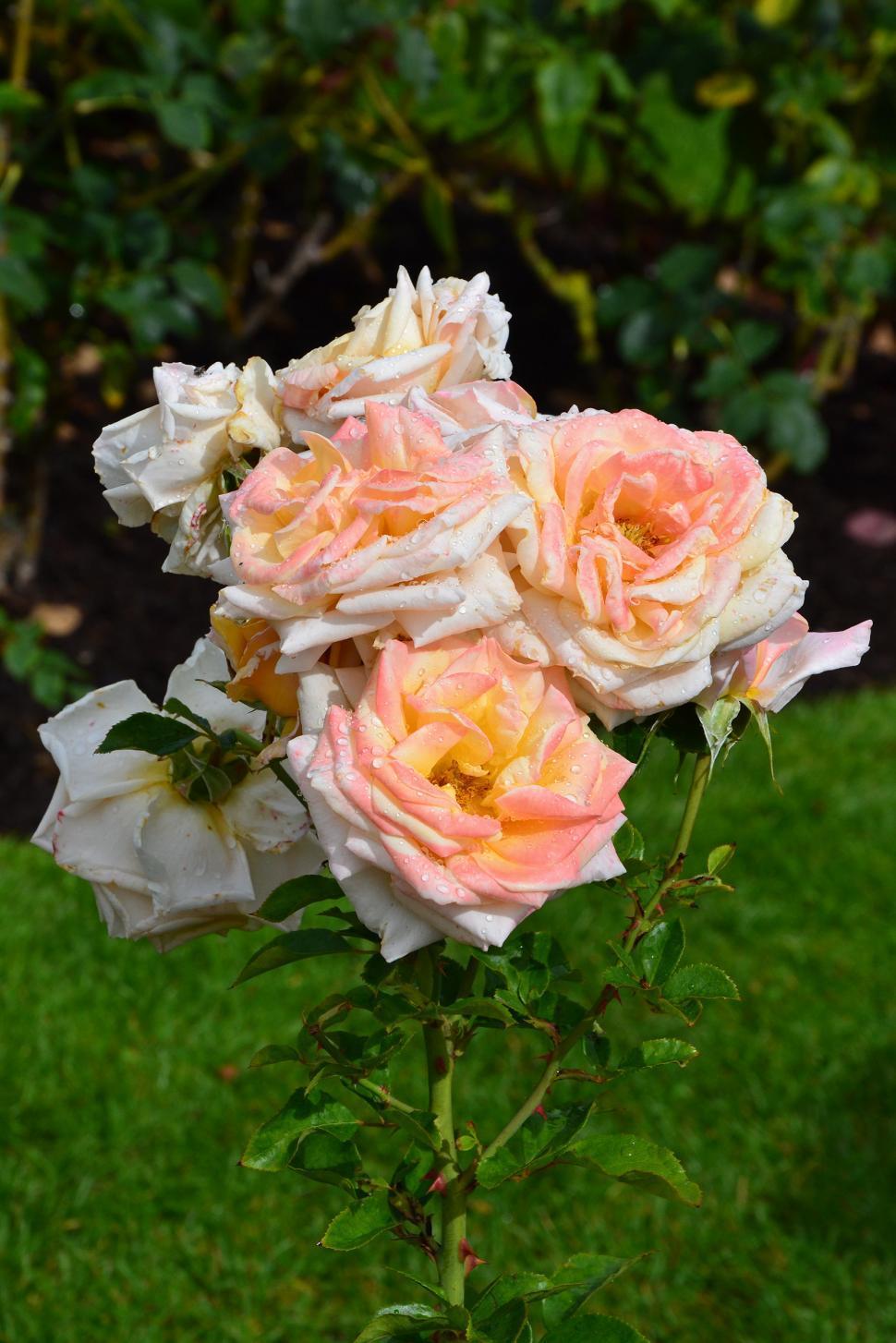 Download Free Stock HD Photo of Hybrid tea rose 'Creme Caramel'  Online