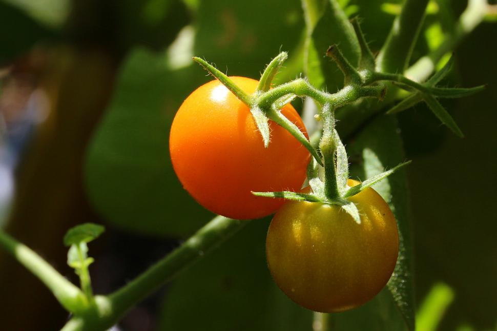 Download Free Stock HD Photo of Cherry Tomatoes on the Vine Online
