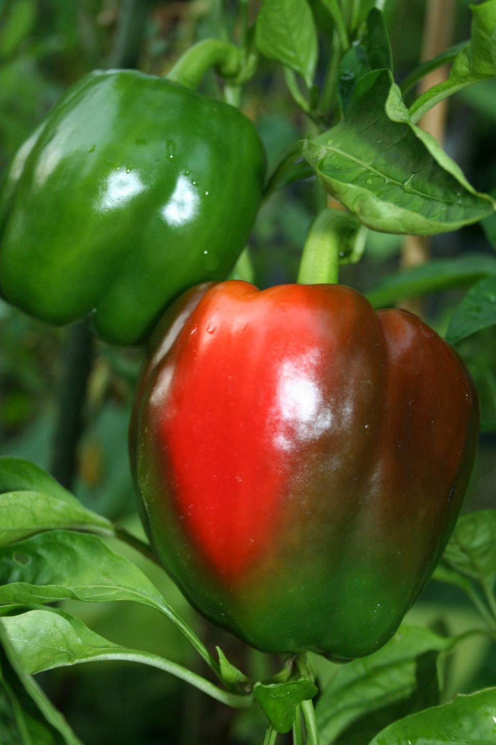 Download Free Stock HD Photo of Red Sweet Bell Pepper Online