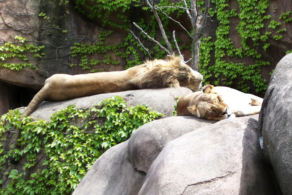 Download Free Stock HD Photo of Two Sleeping Lions Online