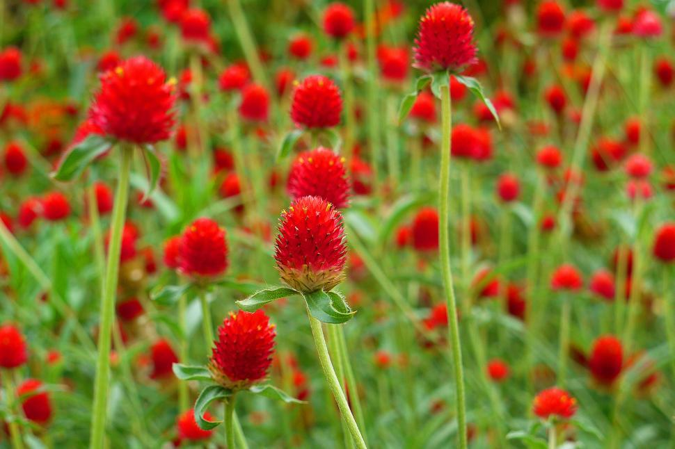 Download Free Stock HD Photo of Globe Amaranth Strawberry Fields  Online