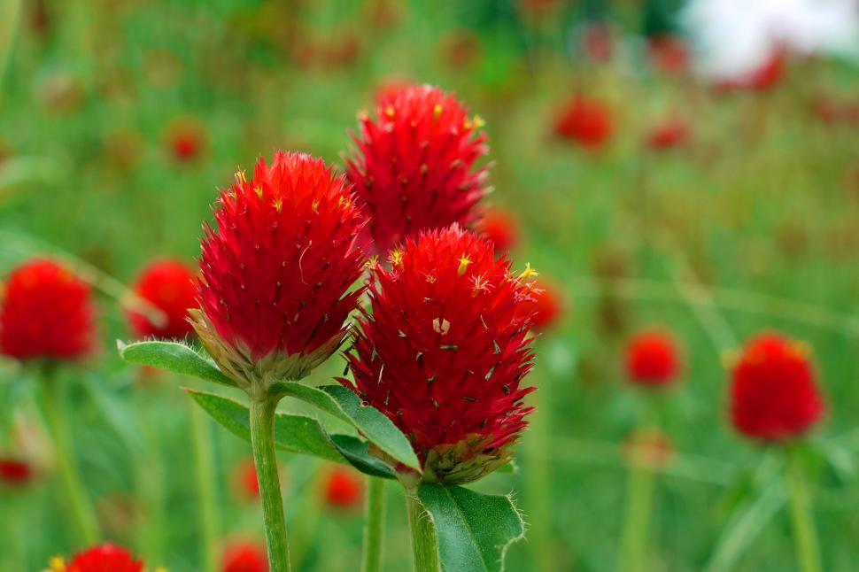 Download Free Stock HD Photo of Gomphrena globosa  Strawberry Fields  Online