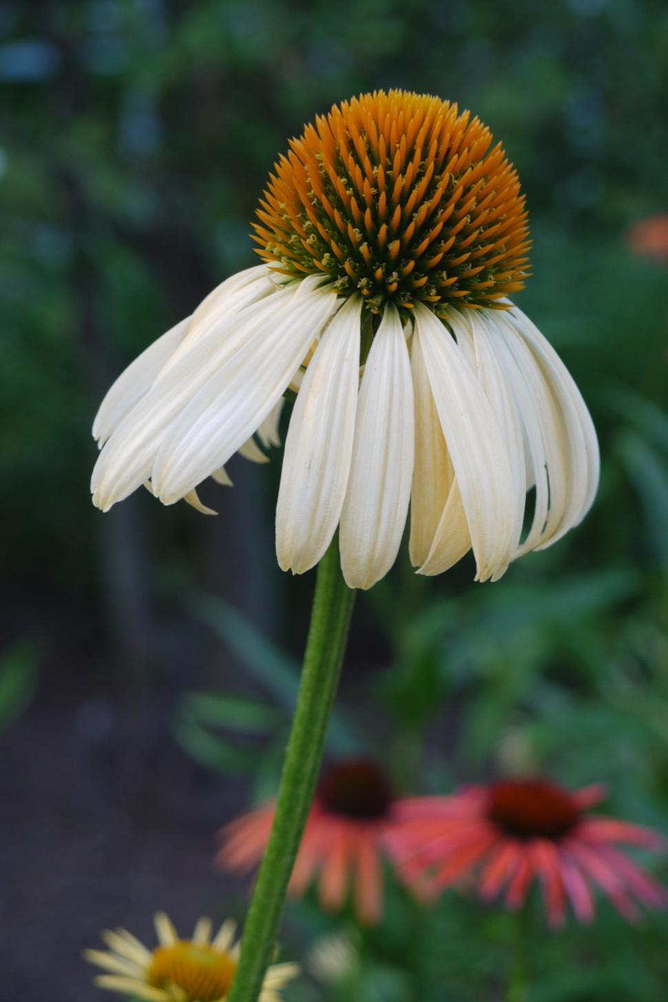 Get Free Stock Photos Of Open White Coneflower Online Download