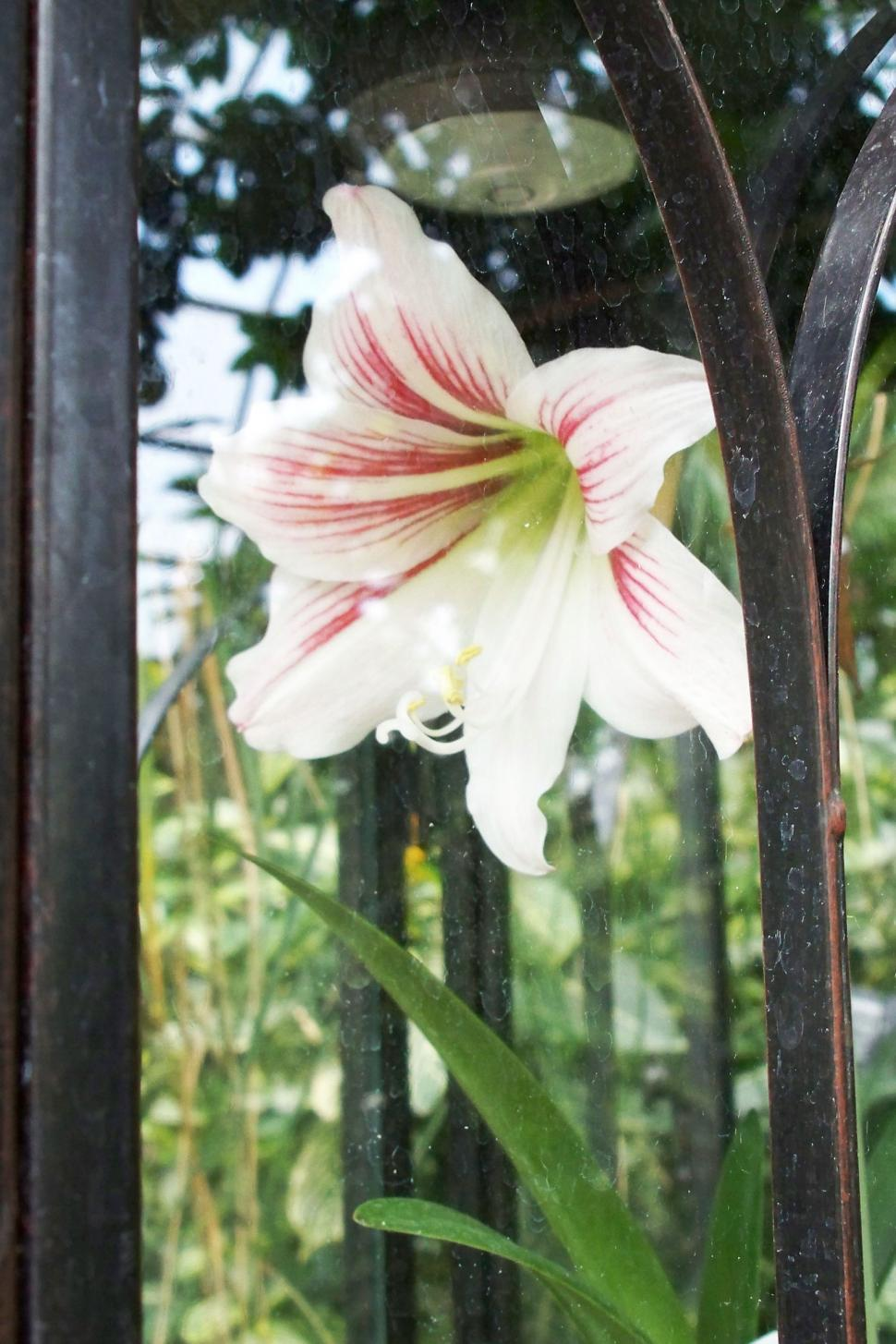 Download Free Stock HD Photo of A Lily Behind Glass Online