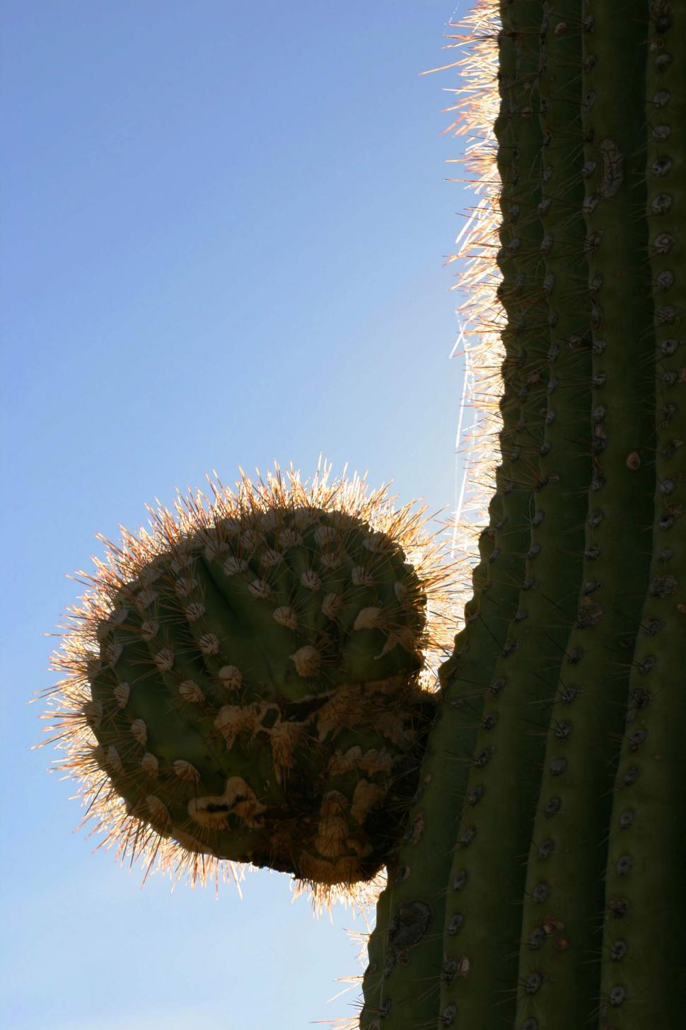 Free stock photo of Small arm growing from side of saguaro cactus