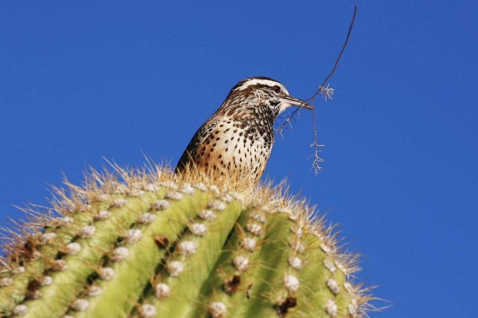 Free stock photo of Cactus wren bird has a twig