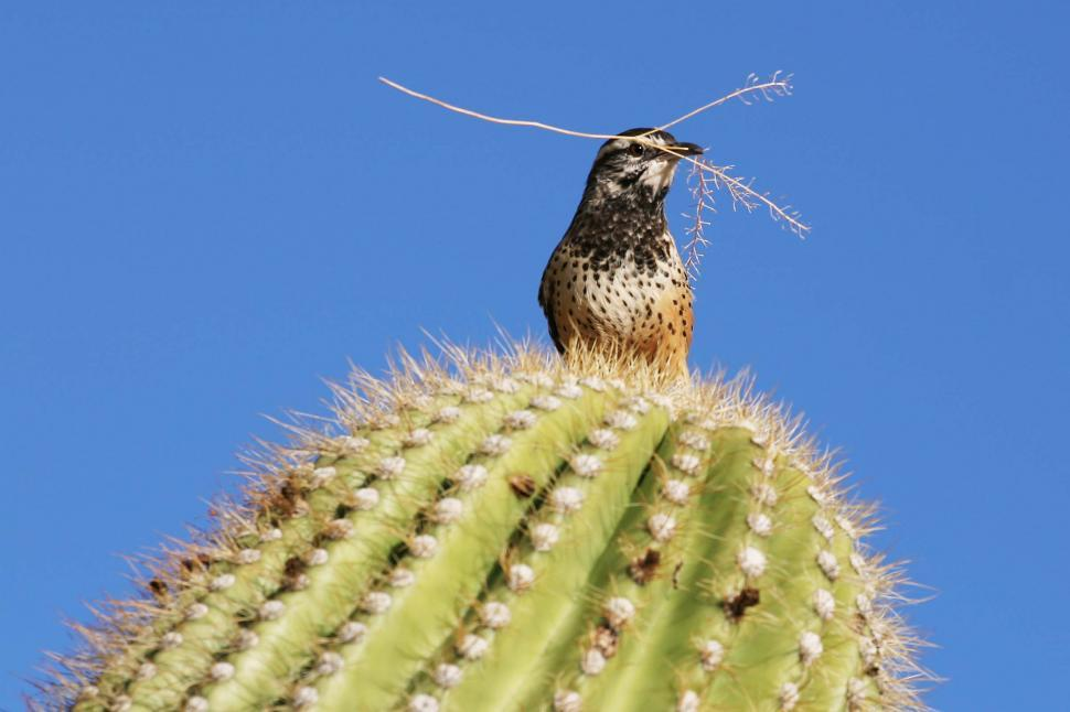 Free stock photo of Cactus wren has a twig for the nest
