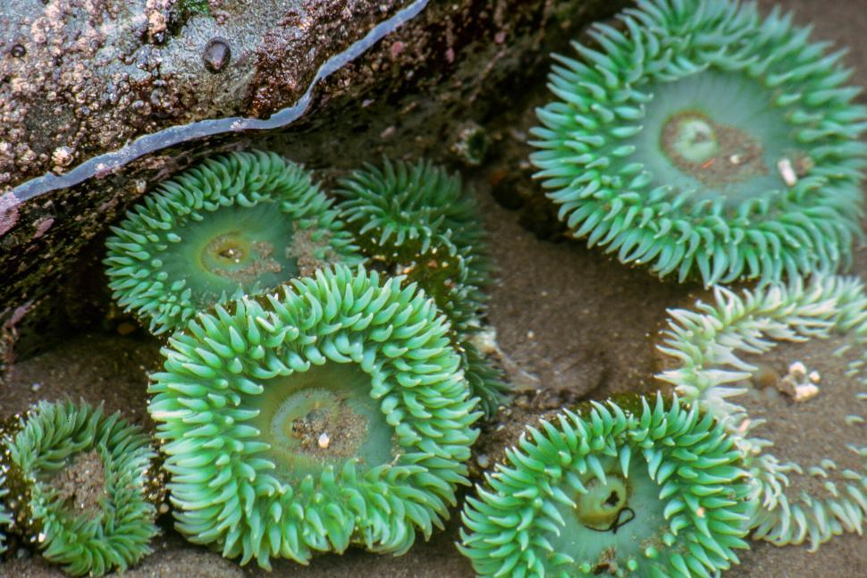 Download Free Stock HD Photo of Sea Anemones in Tidepool Online
