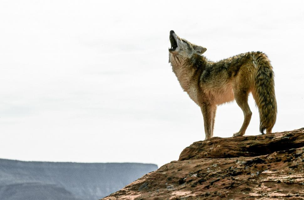 Download Free Stock HD Photo of Coyote Online