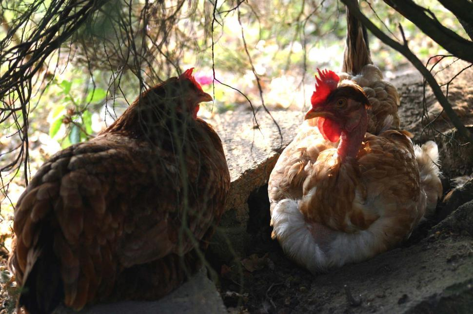 Download Free Stock HD Photo of Honduras Chickens Online