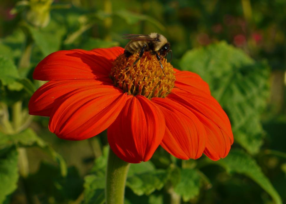 Download Free Stock HD Photo of Mexican Sunflower - Tithonia Online