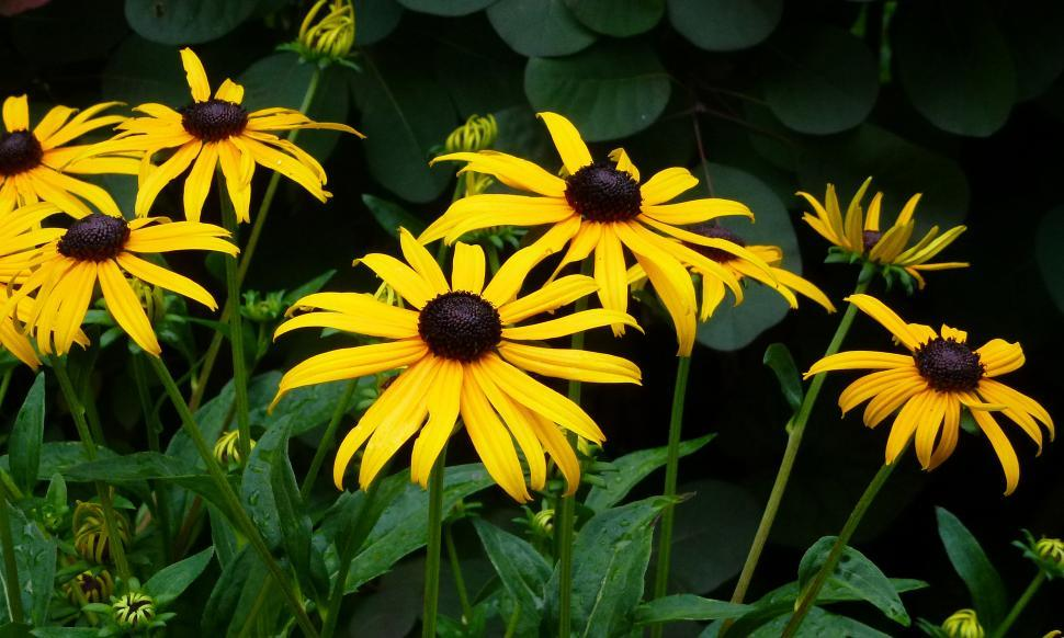 Download Free Stock HD Photo of Black-eyed Susan Plant in the Garden Online