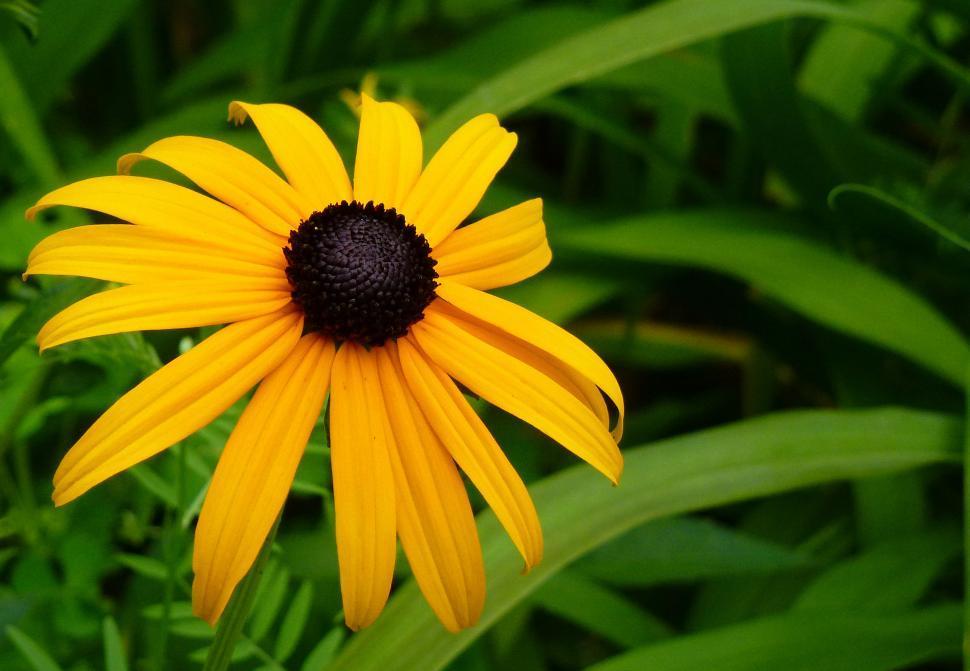 Get Free Stock Photos Of Black Eyed Susan Rudbeckia Flower Online