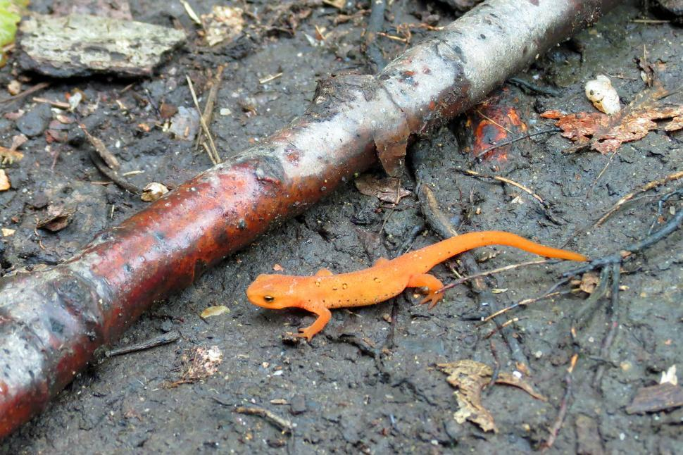 Download Free Stock HD Photo of Red Spotted Newt Eft Online