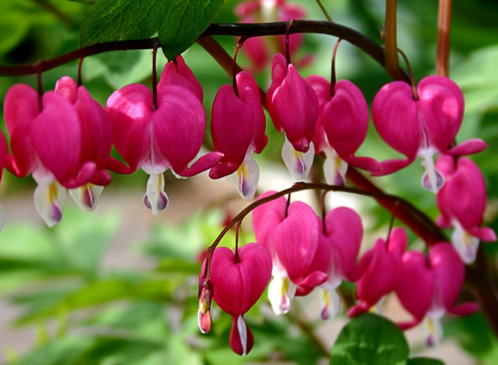 Download Free Stock HD Photo of Bleeding Hearts Online
