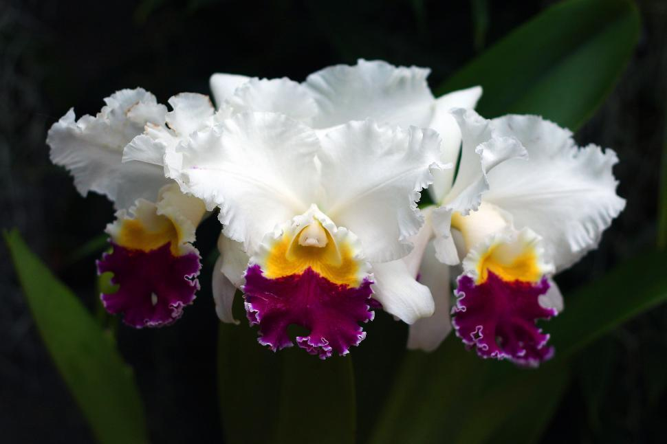 Download Free Stock HD Photo of Cattleya Orchid Flowers Online