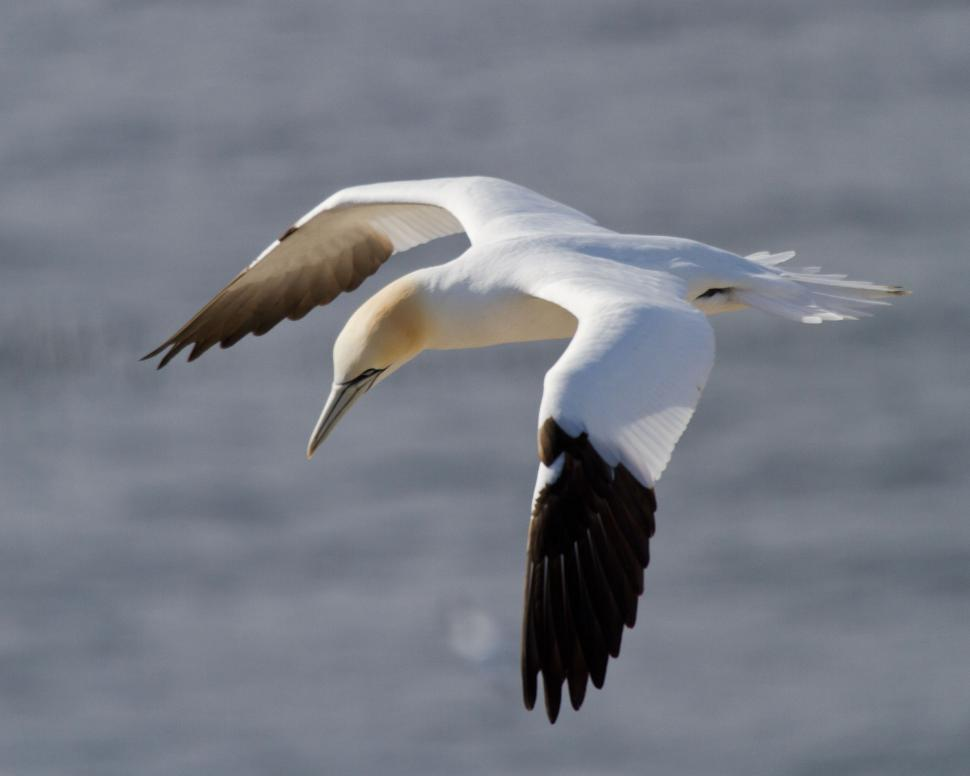 Download Free Stock HD Photo of Gannet Looking Down Online