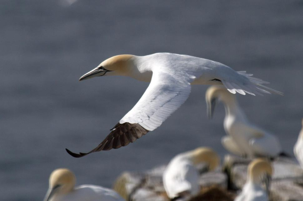 Download Free Stock HD Photo of Gannet Online