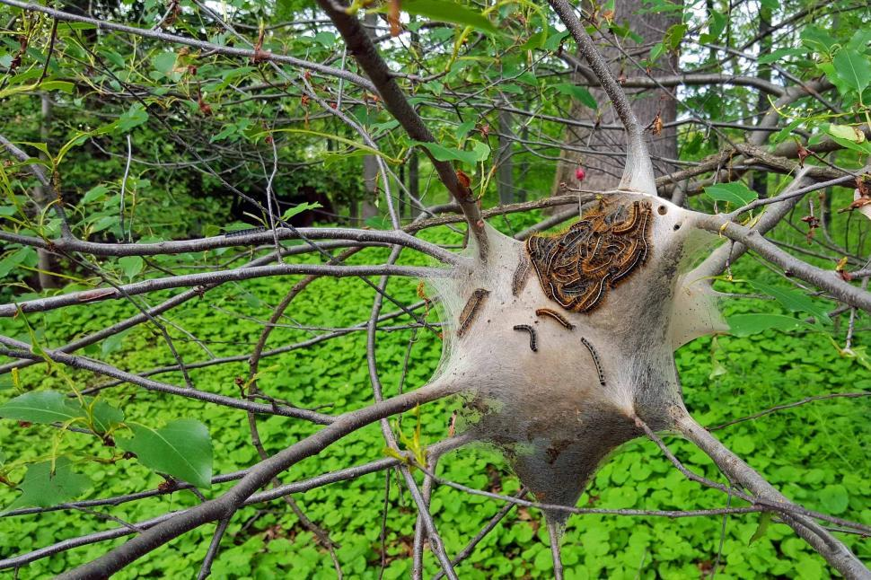 Free image of Photo of Gypsy Moth caterpillars massing on the outside of a cocoon on tree branches.