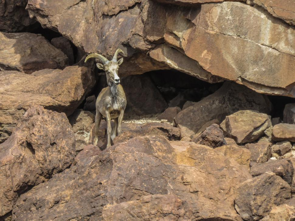 Download Free Stock HD Photo of Mountain goat Online