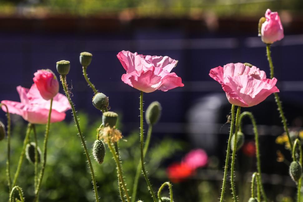 Download Free Stock HD Photo of Pink Poppies Online