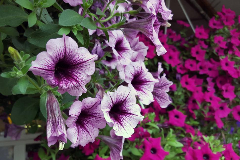 Get free stock photos of colorful petunia flowers online download download free stock hd photo of colorful petunia flowers online mightylinksfo