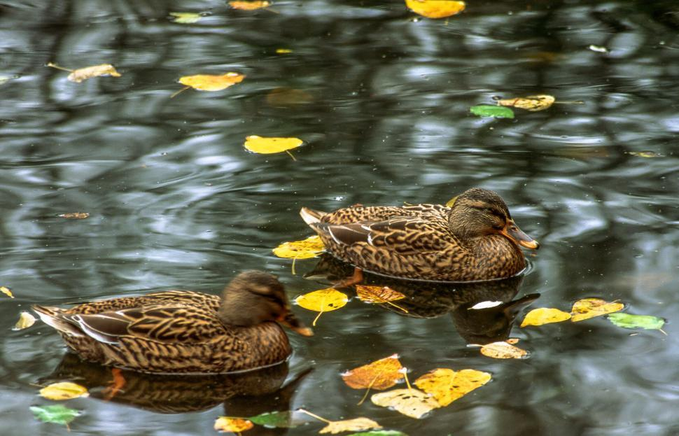 Download Free Stock HD Photo of Two Ducks Online