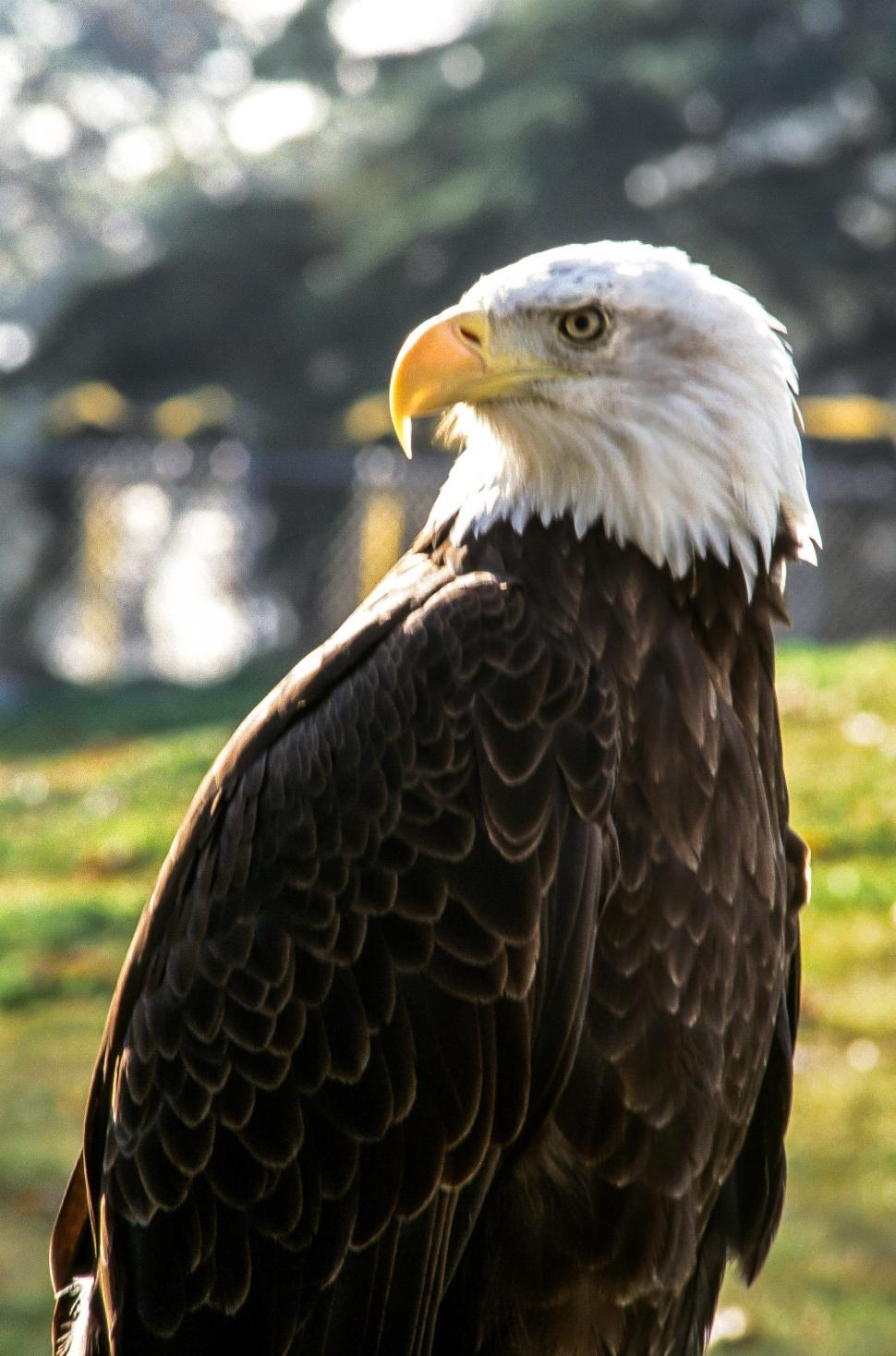 Download Free Stock HD Photo of Bald eagle Online